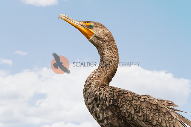 Double-Crested Cormorant in breeding colors against sky (Sandra Calderbank, sandra calderbank)