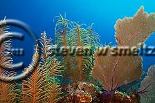 Soft Corals Penny's Arch, Grand Cayman (StevenWSmeltzer.com)