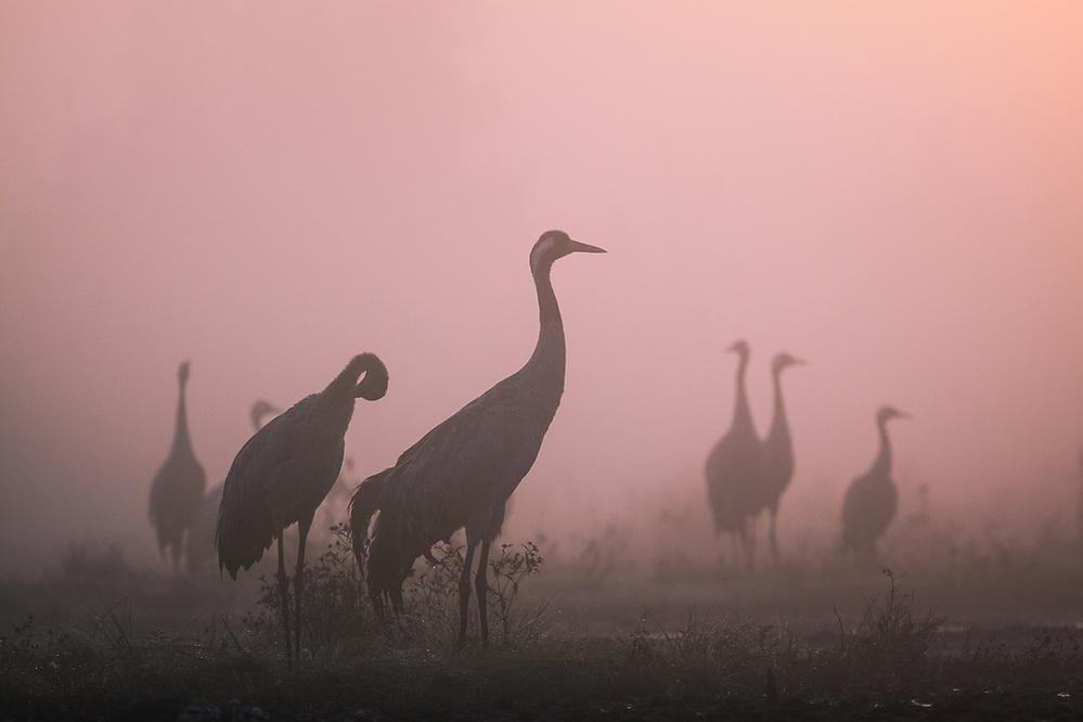 Silhouettes of roosting common cranes (Grus grus) in foggy morning at dawn, Ķemeri National Park, Latvia Ⓒ Davis Ulands | davisulands.com (Davis Ulands/Ⓒ Davis Ulands | davisulands.com)