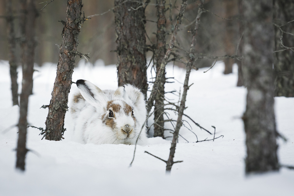 Mountain hare (Lepus timidus) in partially moulted winter coat hiding in snow and small pine trees, near Balvi, Latvia Ⓒ Davis Ulands | davisulands.com (Davis Ulands/Ⓒ Davis Ulands | davisulands.com)