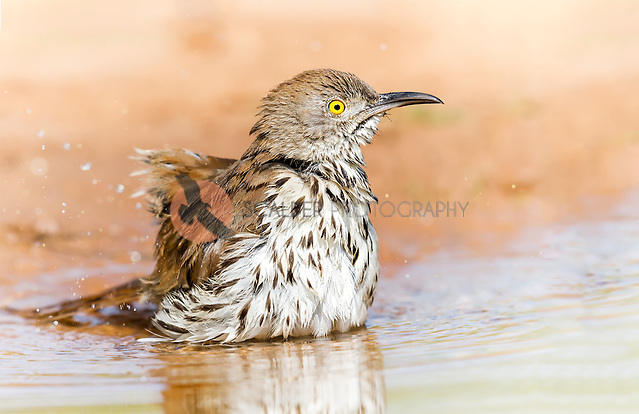 Long-Billed thrasher taking a bird bath in a puddle (sandra calderbank)