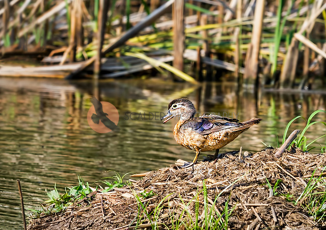 Female Wood Duck standing on bank of pond with beak open (Sandra Calderbank, sandra calderbank)