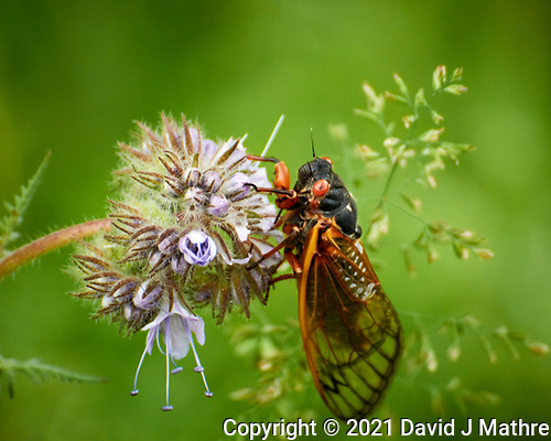 Cicada. (David J Mathre)