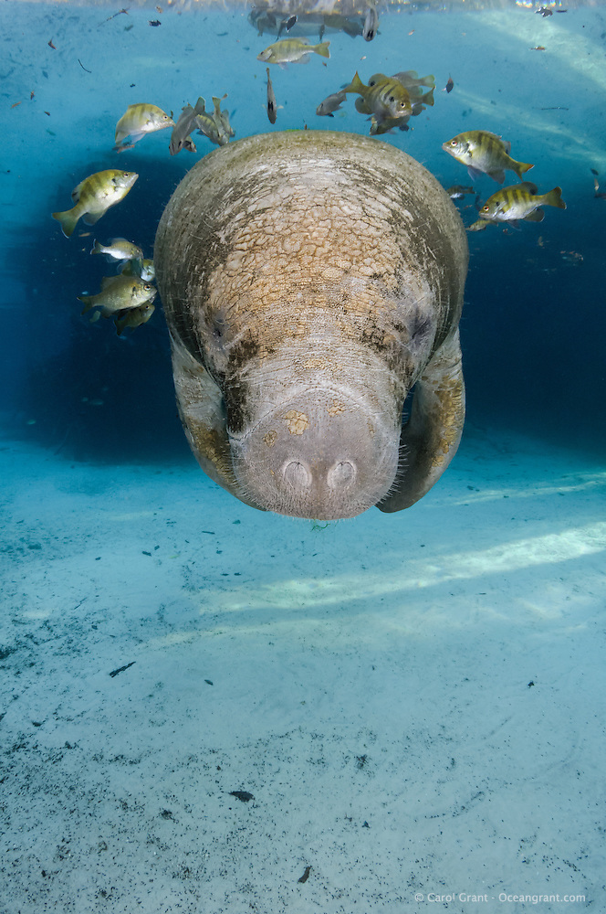 Florida manatee, Trichechus manatus latirostris, a subspecies of the West Indian manatee, endangered. A young manatee floats near a warm blue spring surrounded by fish, bream, Lepomis spp. The manatee is tolerating the fish attention as it is the price to pay for sharing the warm waters. Bream target dermis and dead skin on the manatee. Vertical orientation with blue water and light rays. Three Sisters Springs, Crystal River National Wildlife Refuge, Kings Bay, Crystal River, Citrus County, Florida USA. (Carol Grant)