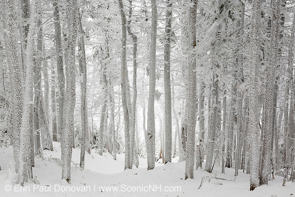 Snow covered softwood forest along the Hancock Loop Trail on the summit of South Hancock Mountain in the White Mountains, New Hampshire during the winter months. This is a great trail to hike.