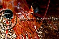 Candy Cane Shrimp Closeup off Maui Hawaii.  Sheraton reef. (Steven Smeltzer)