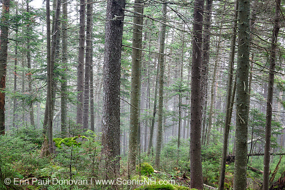 Softwood forest on the northern slopes of Mount Jim in Kinsman Notch of Woodstock, New Hampshire USA during the summer months