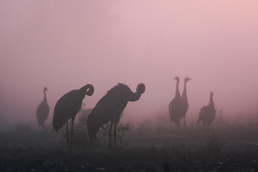 Roosting common cranes (Grus grus) in peatland in sunrise illuminated foggy morning, Kemeri National Park (Ķemeru Nacionālais parks), Latvia Ⓒ Davis Ulands | davisulands.com (Davis Ulands/Ⓒ Davis Ulands | davisulands.com)