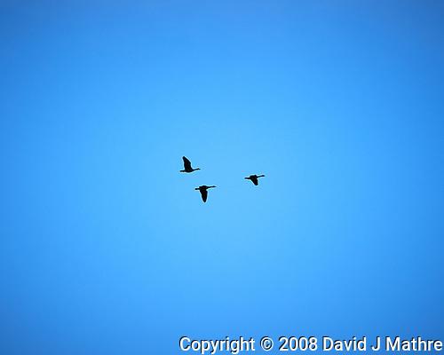 Canada Goose. (David J Mathre)