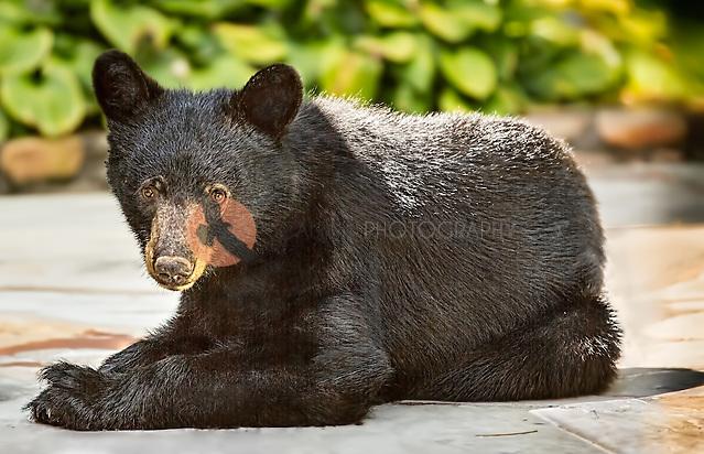 Black Bear Cub lying on patio (SandraCalderbank, sandra calderbank)