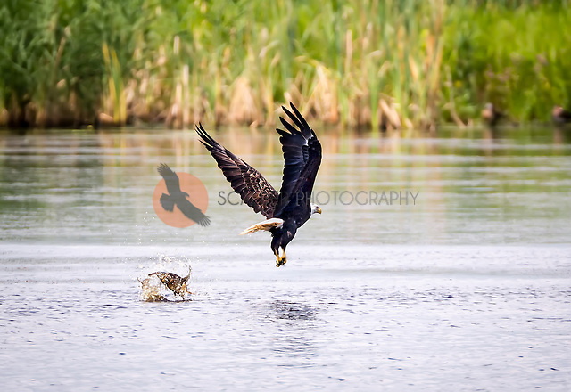 Bald Eagle DIving for fish and missing the fish. Fish is behind the Eagle in the water (sandra calderbank)