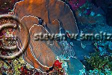 Dimpled sheet coral, Grand Cayman, North Side (Steven Smeltzer)