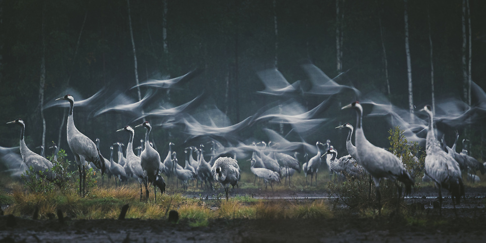 Roosting common cranes (Grus grus) taking flight in a stopover site at early morning, Ķemeri National Park, Latvia Ⓒ Davis Ulands | davisulands.com (Davis Ulands/Ⓒ Davis Ulands | davisulands.com)