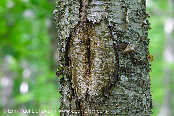 June 2019 - A tree wound on a birch tree along the Mt Tecumseh Trail in New Hampshire. This wound is the result of man not using proper protocol to remove a painted trail marker (blaze) from the tree. A yellow trail blaze was painted on the tree in 2011, and then it was improperly removed from the tree in the spring of 2012. The bark, where the blaze was, was cut and peeled away creating a tree wound where rot, fungus, and insects could enter the tree.