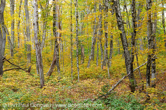 Hardwood forest during the autumn months in the area of the old Passaconaway Settlement in the White Mountains, New Hampshire. This settlement was part of the Swift River Railroad, which was a logging railroad in operation from 1906-1916.