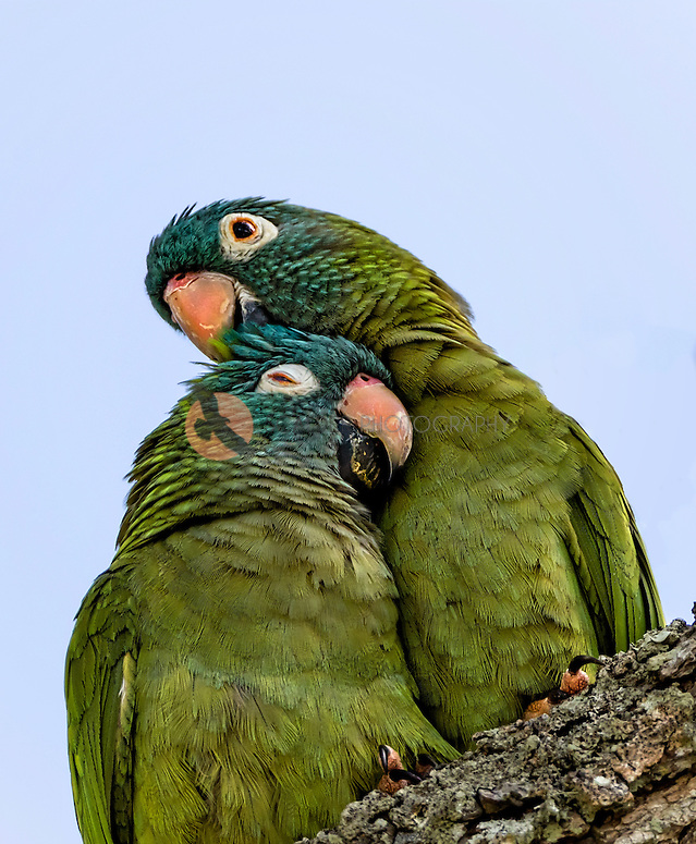 Pair of Blue-crowned parakeets, snuggling (SandraCalderbank, sandra calderbank)