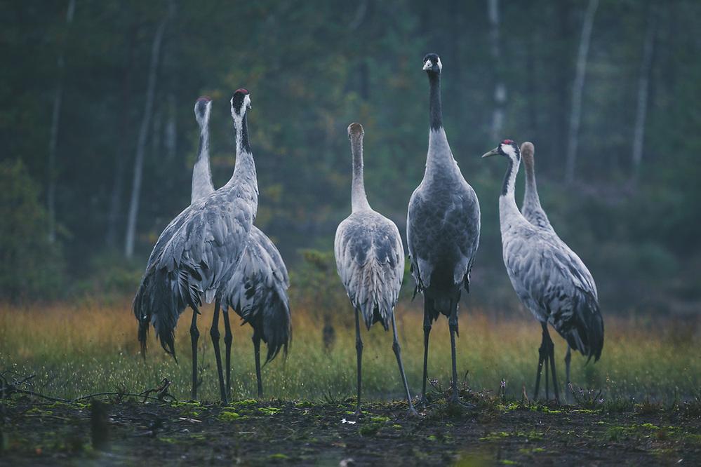 Group of common cranes (Grus grus) with young and adult birds looking almost like at briefing before flight, Kemeri National Park (Ķemeru Nacionālais parks), Latvia Ⓒ Davis Ulands | davisulands.com (Davis Ulands/Ⓒ Davis Ulands | davisulands.com)