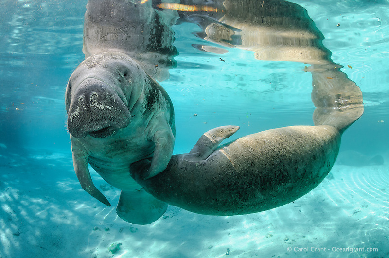 playing manatees | These two manatees played with each ... |Manatees Playing