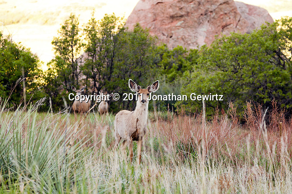 Foraging mule deer in a grassy meadow at sunup in South Valley Park Ken-Caryl Ranch Open Space, Colorado. (Jonathan Gewirtz)