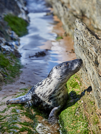 Newly independent Grey Seal pup exploring the North Devon coast (Doug King)
