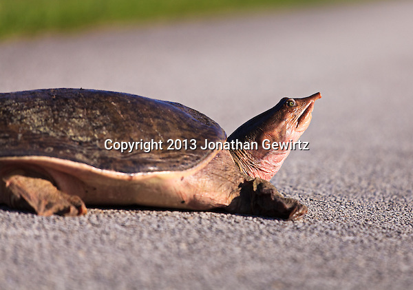 Side view of the head and forebody of a Florida Softshell Turtle (Apalone ferox) on dry pavement in the Shark Valley section of Everglades National Park, Florida. (Jonathan Gewirtz  jonathangewirtz.com)