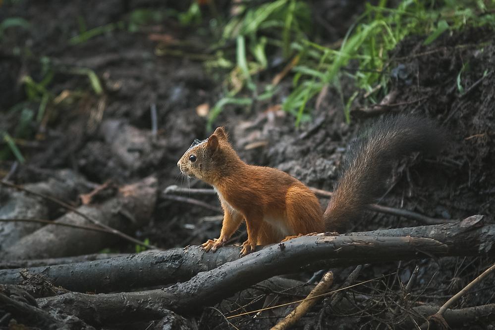 Red squirell (Sciurus vulgaris) on beaver dam, Northern Vidzeme, Latvia Ⓒ Davis Ulands | davisulands.com (Davis Ulands/Ⓒ Davis Ulands | davisulands.com)