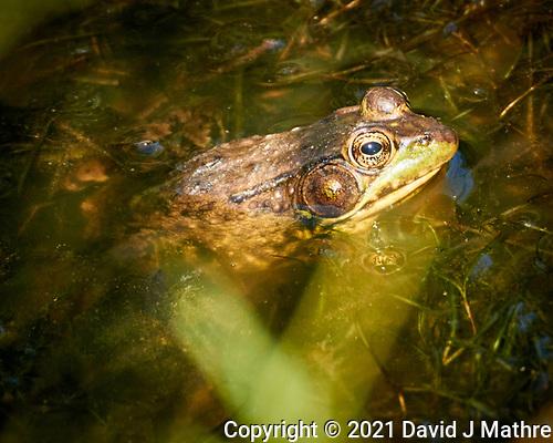 Kermit the Bull Frog. (David J Mathre)