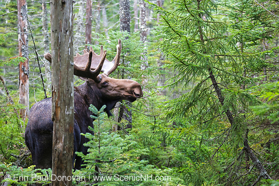 Franconia Notch State Park - Moose on Lonesome Lake Trail in the White Mountains, New Hampshire USA.