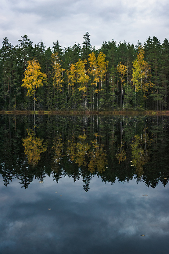 """Yellow birch trees (Betula sp.) and their reflections add color to dark boreal forests and mirror-like lake on late autumn evening, at lake Darva, """"Darvas ezers"""" near Cirgaļi, Latvia Ⓒ Davis Ulands 