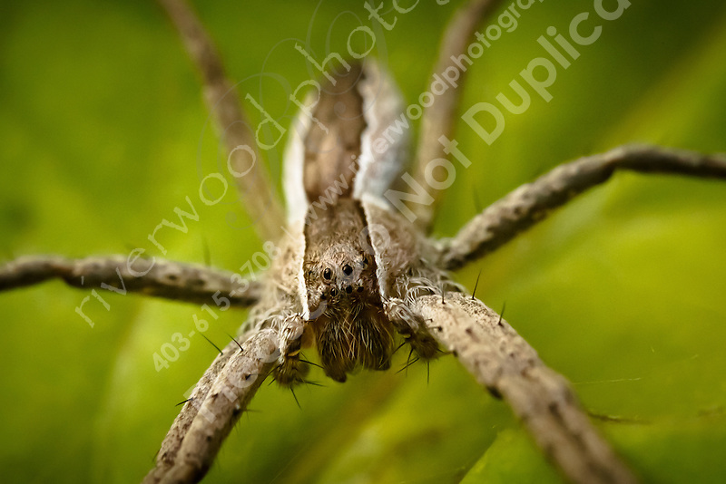 I don't know much about spiders other than to know that this one is a little different. It creates micro webs in the leaves of plants and does a great job of catching flies and bugs in those webs...©2010, Sean Phillips.http://www.RiverwoodPhotography.com (Sean Phillips)