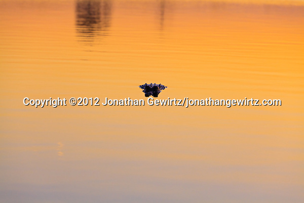 An American Alligator (Alligator mississippiensis) floats facing the camera in water colored a dramatic orange by light from the setting sun in Pine Glades Lake, Everglades National Park, Florida. (©2012 Jonathan Gewirtz/jonathangewirtz.com)