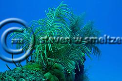 Slimy Sea Plume on aft rail, Doc Paulson, Grand Cayman (StevenWSmeltzer.com)
