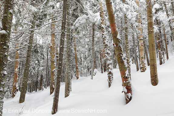 Forest on the northern slopes of Mount Jim in Kinsman Notch of Woodstock, New Hampshire USA during the winter months.