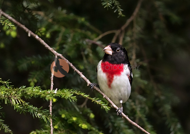 Male Rose-Breasted Grosbeak perched in Hemlock (SandraCalderbank, sandra calderbank)