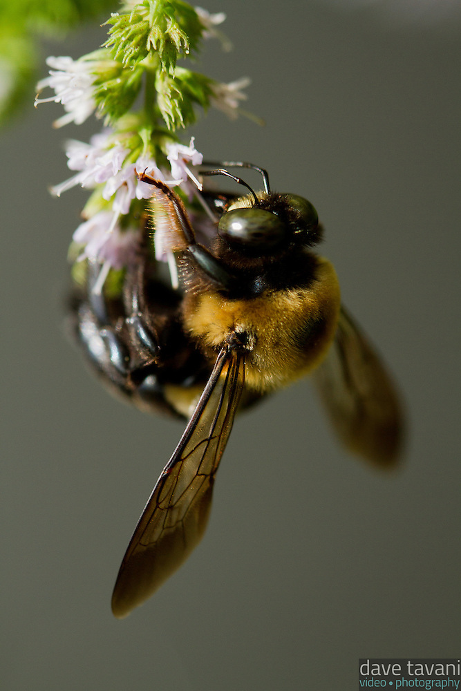 A bumble bee pollinates flowers on a mint plant. (Dave Tavani)