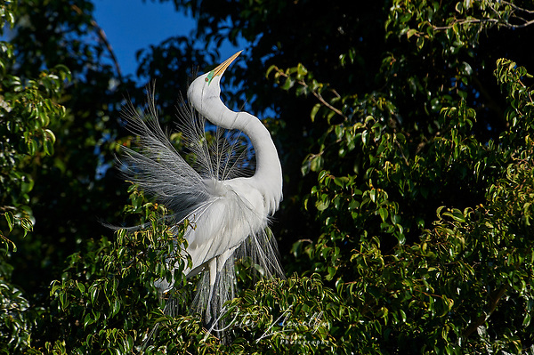 Great Egret (Ardea alba) in breeding plumage courtship dispaly while perched in a tree at edge of Lake Chapala, Jocotopec, Jalisco, Mexico (Peter Llewellyn)