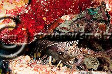 Spiny Lobster, Palinuridae argus, Latreille, 1804, Andes Wall, Grand Cayman (StevenWSmeltzer.com)