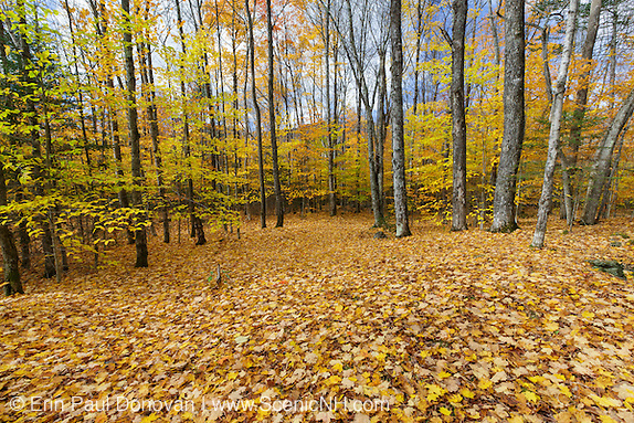 November scene of leaf drop along Thornton Gore Road in Thornton, New Hampshire during the autumn months.