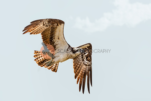 An Osprey in flight after an unsuccessful dive for food (sandra calderbank)