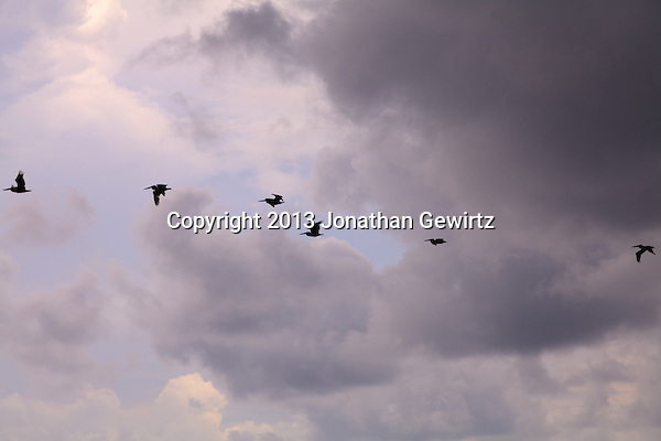 Side view of a group of Brown Pelicans (Pelecanus occidentalis) silhouetted in flight against a partly cloudy Florida sky. (Jonathan Gewirtz   jonathan@gewirtz.net)