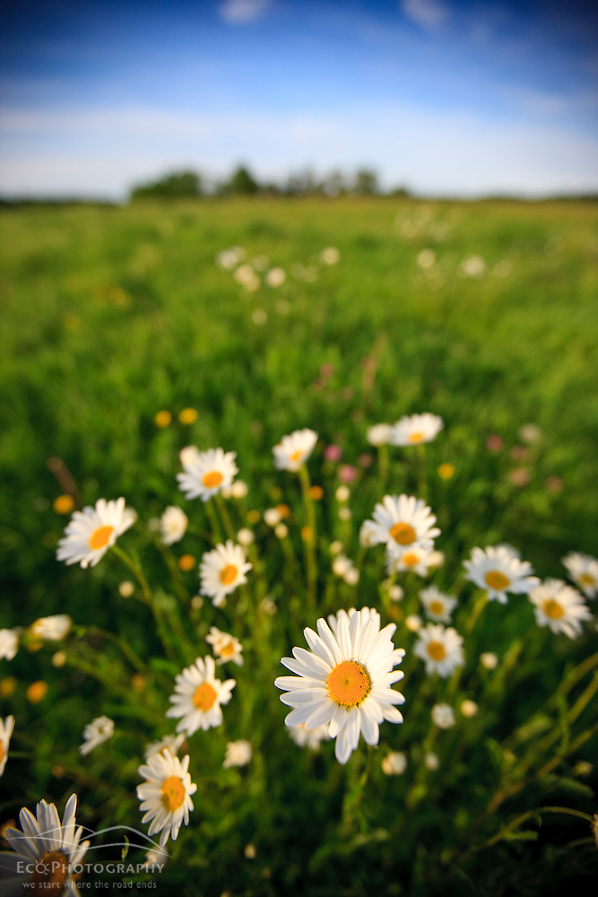 Oxe-eye daisies in a hay field on a farm in Ipswich, Massachusetts. (Jerry and Marcy Monkman)