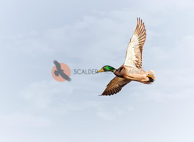 Male Mallard in flight against sky (Sandra Calderbank, sandra calderbank)