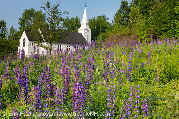 Lupine Festival in Sugar Hill, New Hampshire USA. St. Matthew's Chapel is in the background.