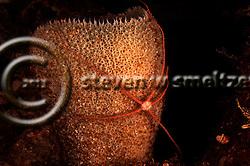 Sponge Brittle Star, Ophiothrix suensoni, Lütken, 1856, Grand Cayman (StevenWSmeltzer.com)
