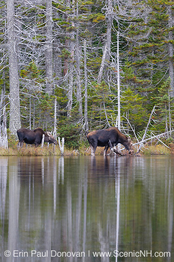 Nancy Brook Scenic Area - Moose in the White Mountains of New Hampshire