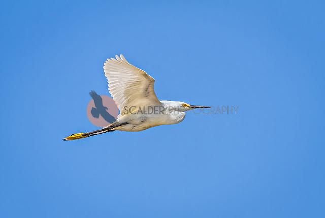 Snowy  Egret in flight against bright blue sky (Sandra Calderbank, sandra calderbank)