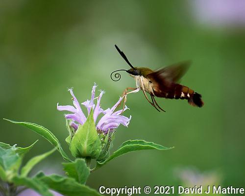 Hummingbird Clearwing Moth. (David J Mathre)