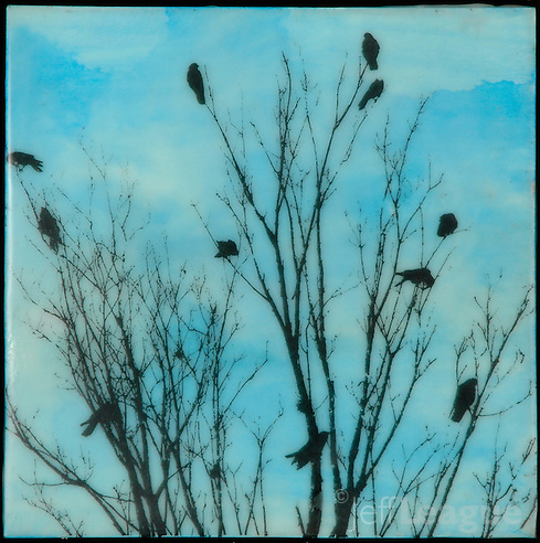 Family tree of crows silhouette against encaustic painting of turquoise blue sky. (Jeff League)