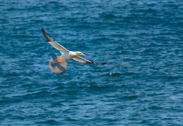 Northern Gannet in flight, flying low over North Atlantic Ocean (sandra calderbank)