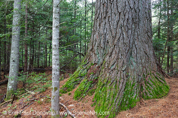 Mature eastern white pine in Albany, New Hampshire. This area was once part of the Swift River Railroad, which was a logging railroad in operation from 1906-1916. This is one of the bigger pines I have seen in the area.